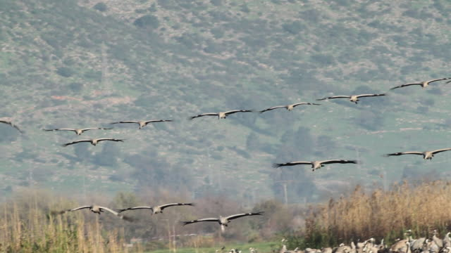 common crane (grus grus)- flying craned landing into a crouded flock in an open field, loud voices - クロヅル点の映像素材/bロール
