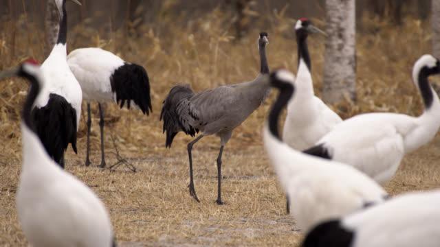 common crane is rare in hokkaido, japan - 4k - eurasischer kranich stock-videos und b-roll-filmmaterial