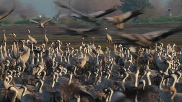 common crane (grus grus)- migrating cranes feeding at the hulla project. - maul stock-videos und b-roll-filmmaterial
