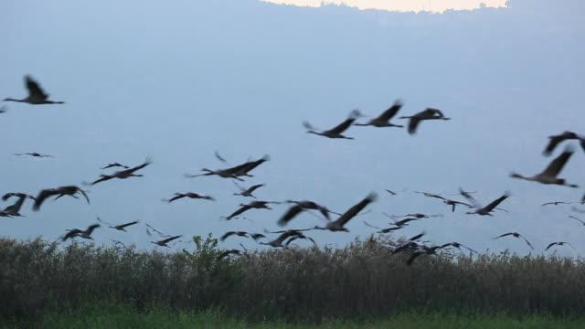 common crane (grus grus) - クロヅル点の映像素材/bロール