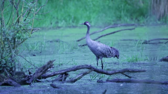 common crane (grus grus) wades in shallow swamp - baden wurttemberg stock videos and b-roll footage