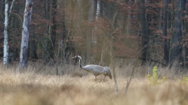 common crane (grus grus) walks through tall grass - baden wurttemberg stock videos and b-roll footage