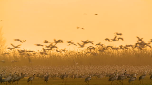 common crane (grus grus), wintering in the hula valley, israel - israel stock-videos und b-roll-filmmaterial