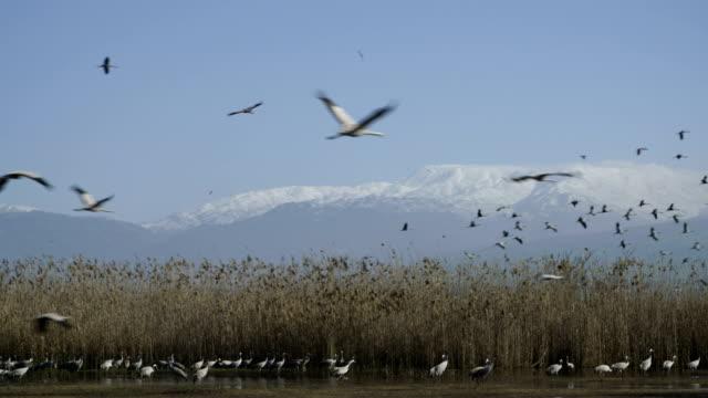 common crane (grus grus), wintering in the hula valley, israel - クロヅル点の映像素材/bロール