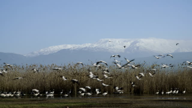 common crane (grus grus), wintering in the hula valley, israel - migrating stock videos & royalty-free footage