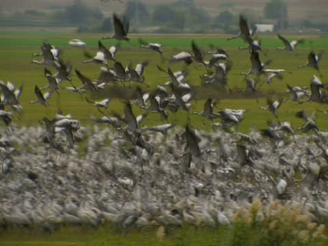 vidéos et rushes de common cranes (grus grus) taking off from colony, hula valley, israel; with audio - colony