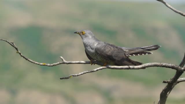 common cuckoo (cuculus canorus) - azerbaijan - birdsong stock videos & royalty-free footage
