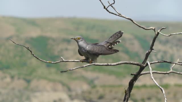 common cuckoo (cuculus canorus) - azerbaijan - birdhouse stock videos & royalty-free footage