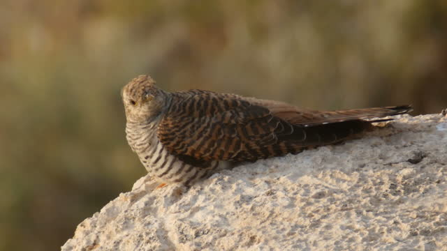common cuckoo/ cuculus canorus female perching on a rock  in dry vegetation - female animal stock videos & royalty-free footage