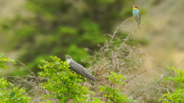 common cuckoo (cuculus canorus) - cuckoo stock videos and b-roll footage