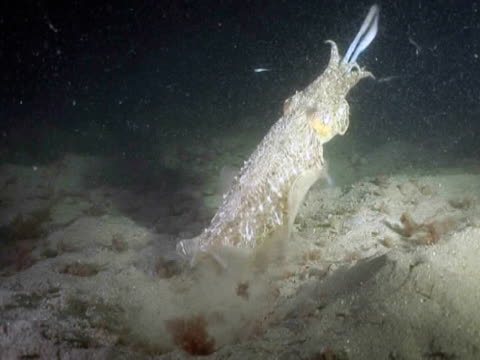 common cuttlefish (sepia officinalis) stalking and feeding at night. channel islands, uk - cuttlefish stock videos & royalty-free footage