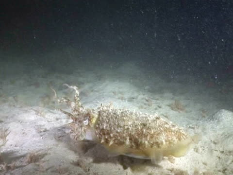 Common Cuttlefish (Sepia officinalis) stalking and feeding at night. Channel islands, UK
