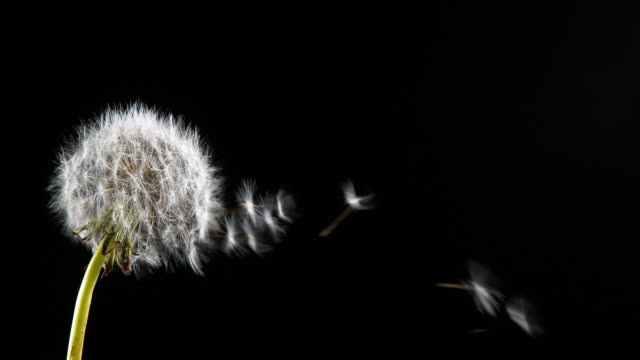 Common Dandelion, taraxacum officinale, seeds from 'clocks' being blown and dispersed by wind, Normandy, Slow motion 4K