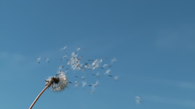 common dandelion, taraxacum officinale, seeds from 'clocks' being blown and dispersed by wind against blue sky, normandy, slow motion 4k - 種点の映像素材/bロール