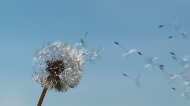 Common Dandelion, taraxacum officinale, seeds from 'clocks' being blown and dispersed by wind against Blue Sky, Normandy, Slow motion 4K