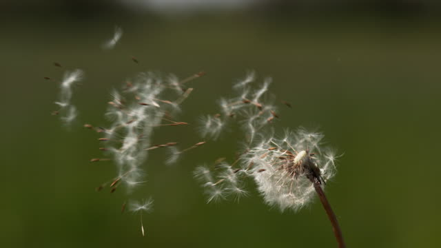 common dandelion, taraxacum officinale, seeds from 'clocks' being blown and dispersed by wind, normandy, slow motion 4k - dente di leone video stock e b–roll