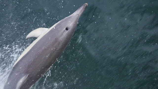 common dolphin (delphinus delphis) from above - common dolphin stock videos & royalty-free footage