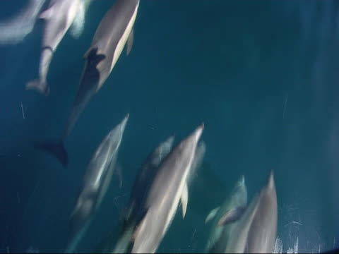 stockvideo's en b-roll-footage met common dolphin (delphinus delphis) pod bow-riding boat, high angle, open sea - common dolphin