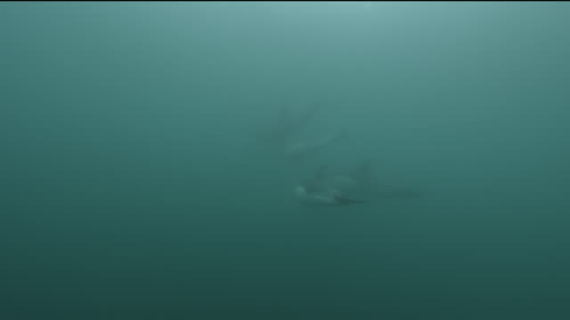 common dolphin (delphinus delphis) pod swims away in sea, cornwall, england - common dolphin stock videos & royalty-free footage