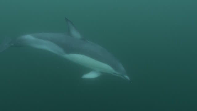 Common dolphin (Delphinus delphis) pod swims away in sea, Cornwall, England