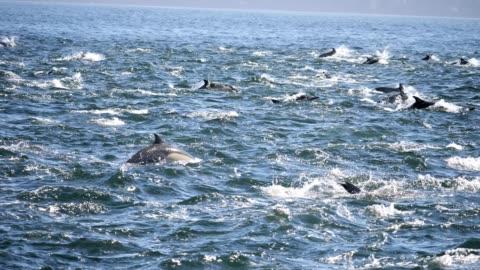 stockvideo's en b-roll-footage met gewone dolfijn - dolfijn