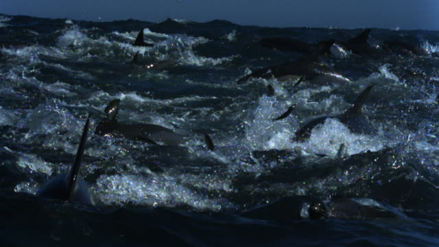 stockvideo's en b-roll-footage met common dolphins feed on sardine shoal leaping out of water. - common dolphin
