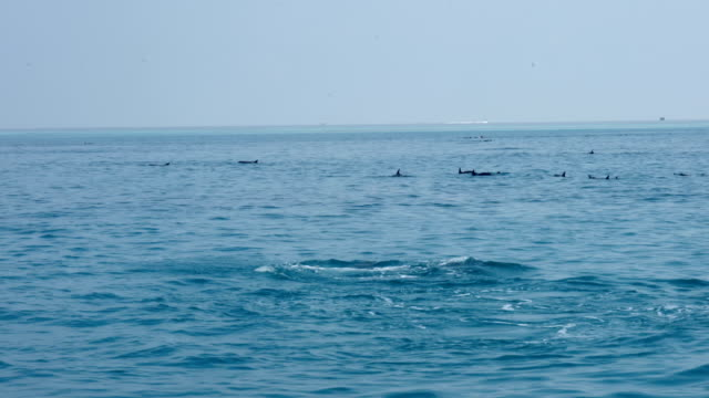 common dolphins in the maldives - common dolphin stock videos & royalty-free footage