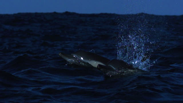 stockvideo's en b-roll-footage met common dolphins porpoise through waves. - common dolphin