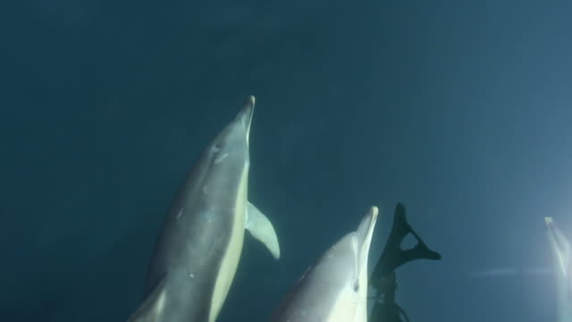 stockvideo's en b-roll-footage met common dolphins - common dolphin