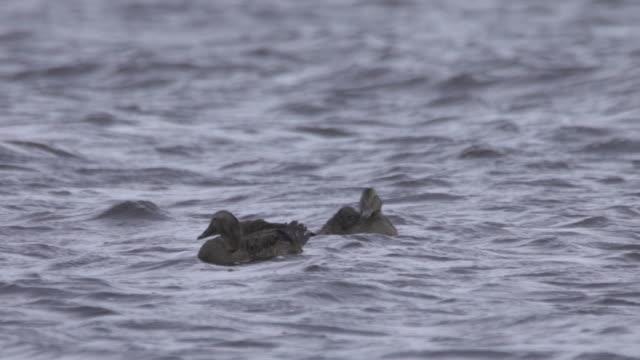common eider (somateria mollissima) - eider duck stock videos & royalty-free footage