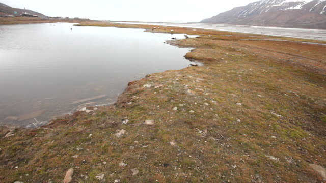 common eiders (somateria mollissima), barnacle goose (branta leucopsis) and some other birds species at a wetland nearby arctic bay, longyearbyen, svalbard archipelago - wide shot stock videos & royalty-free footage