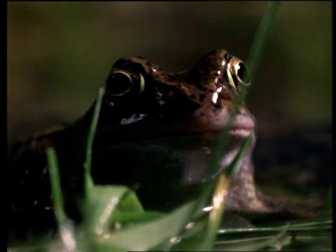 vídeos y material grabado en eventos de stock de cu common frog face - anfibio