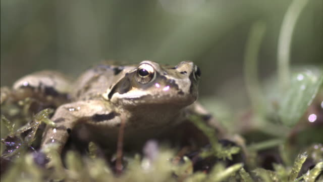 Common frog (Rana temporaria) gets hit in head by rain drop, UK