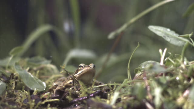 Common frog (Rana temporaria) leaps in rain, UK