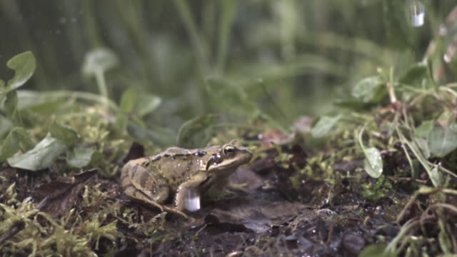 common frog (rana temporaria) leaps in rain, uk - 2007 stock-videos und b-roll-filmmaterial