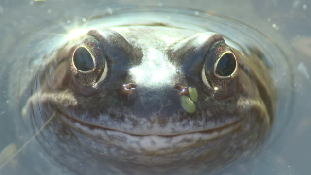 Common frog (Rana temporaria) winks to camera, UK