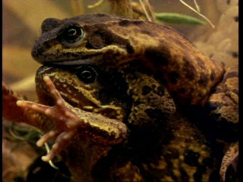 vídeos y material grabado en eventos de stock de common frogs  (rana temporaria) mating underwater, cu - rana