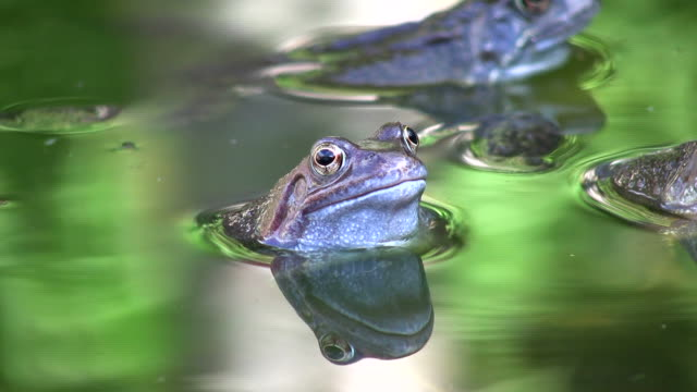 common frogs - pond stock videos & royalty-free footage