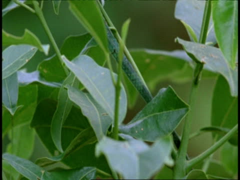 common garden lizard, calotes versicolor, on plant, side view, tilt up, western ghats, india - tierschuppe stock-videos und b-roll-filmmaterial