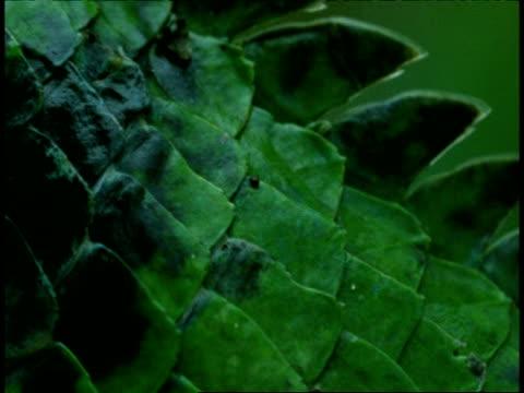 stockvideo's en b-roll-footage met bcu common garden lizard, calotes versicolor, pan left over scaly body to eye, western ghats, india - vachtpatroon