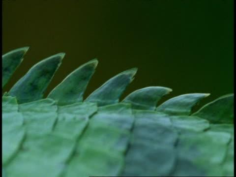 cu common garden lizard, calotes versicolor, serrated scales, western ghats, india - pälsteckning bildbanksvideor och videomaterial från bakom kulisserna