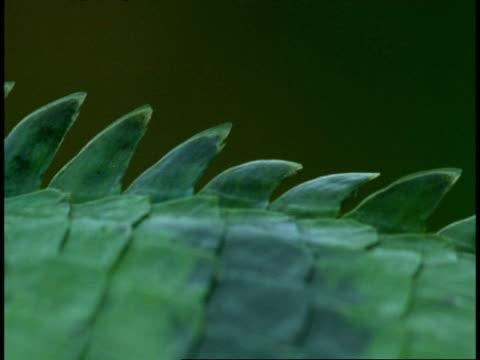 stockvideo's en b-roll-footage met cu common garden lizard, calotes versicolor, serrated scales, western ghats, india - vachtpatroon