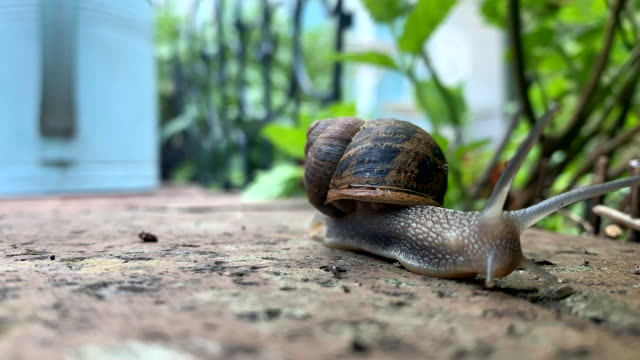 common garden snail - time-lapse - mollusk stock videos & royalty-free footage