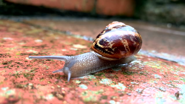common garden snail - snail stock videos & royalty-free footage