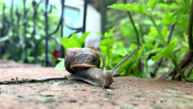 common garden snail - mollusk stock videos & royalty-free footage