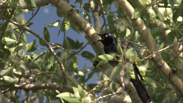 Common grackle (Quiscalis quiscula) calls amongst drifting cottonwood (Populus angustifolia) seeds, Yellowstone, USA