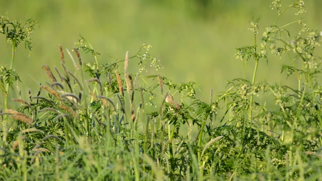 common grasshopper warbler (locustella naevia) - warbler stock videos & royalty-free footage