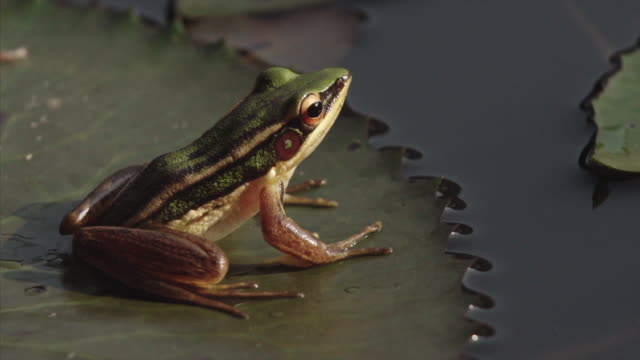 common green frog jumping off a lily pad in malaysia - pond stock videos & royalty-free footage