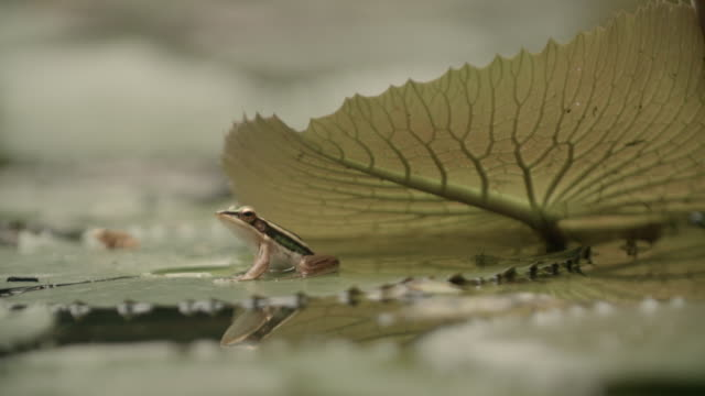 Common Green Frog jumping off a water lily pad in Malaysia