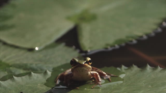 common green frog on a lily pad in malaysia - langkawi stock videos and b-roll footage